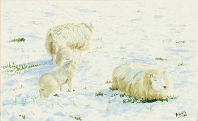 Beltex Sheep on Snowy Hills