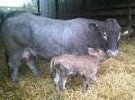 marsh honey and imprevu sired newborn calf 3_th