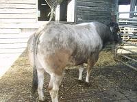 leighton_bull_for_sale_th