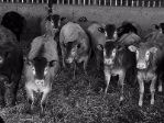 brakes_yearling_heifers_2017_th