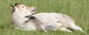 calf_lying
