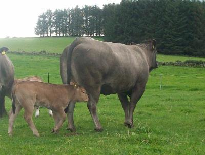 hh_2nd_calver_and_calf