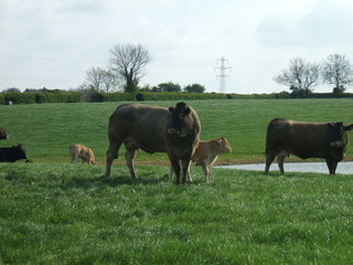 edmarc_cows
