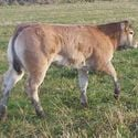 ma_cesar_sired_heifer_2months