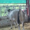 ma_cesar_sired_steer_20mths