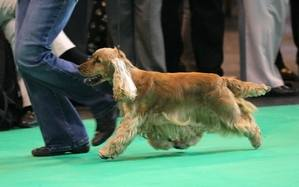 Blondie on the move Crufts 2012