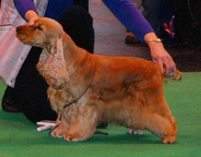 Crufts 2013 Blondie close-up