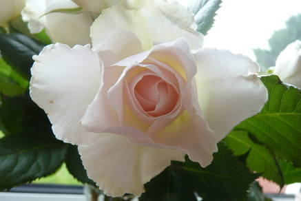 Rose June 2015