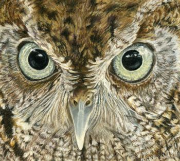 1 in stock - Screech owl print (FREE postage to mainland UK)