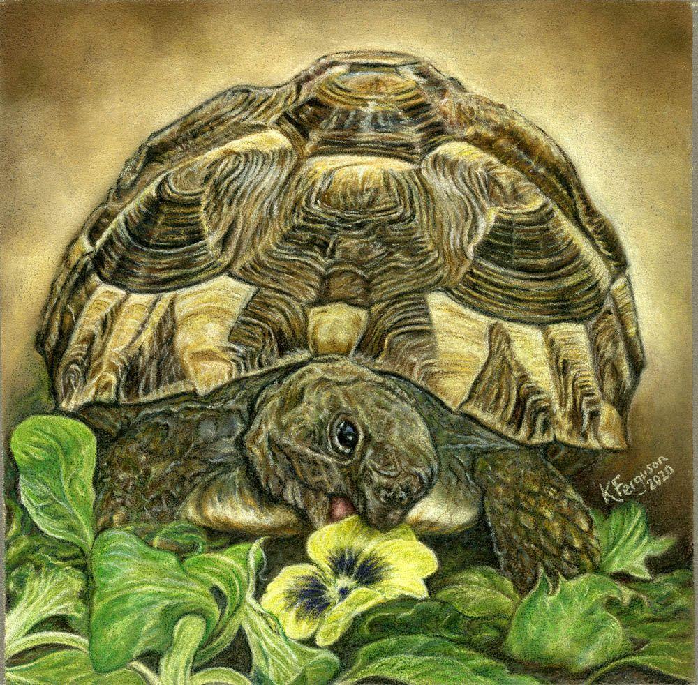 Tortoise in coloured pencils