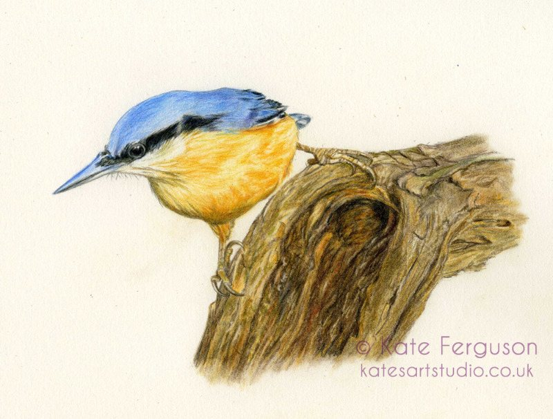 Nuthatch in coloured pencil