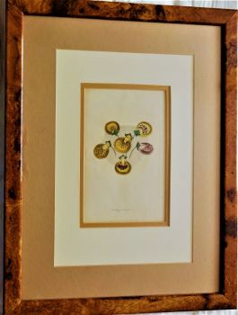 Seedling Calceolarias, D. Hayes, Floricultural Cabinet, 1842, chromolithograph of original coloured engraving, c1860.