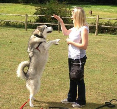 Lexie demonstrating trick dog training in Godalming, Surrey