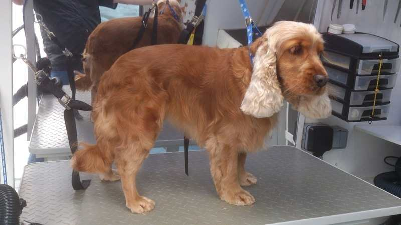 Cocker Spaniel Handstrip After