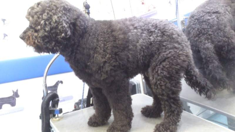 Labradoodle Before