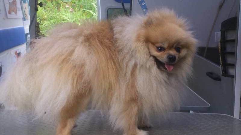 Pomeranian Before