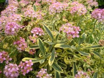 Alyssum spinosum Roseum Variegatum