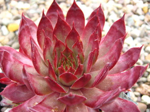 Sempervivum Triste