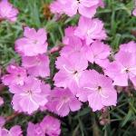 Dianthus Pixie