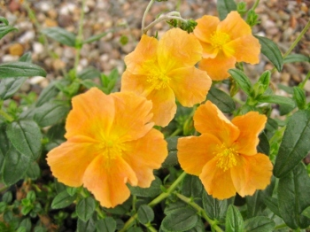 Helianthemum Honeymoon