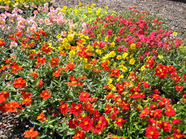 8 Helianthemum plants