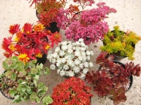 8 Sedum plant Collection