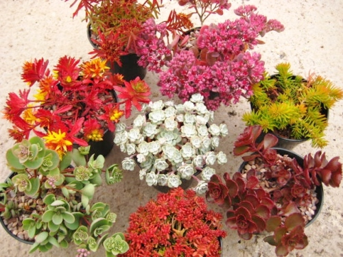 8 plant Sedum Collection