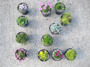 12 alpines for general garden use collection, 9cm round pots
