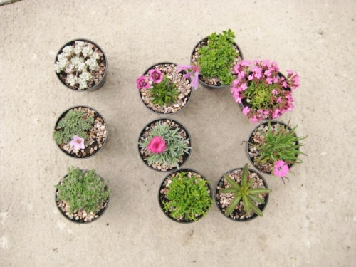 10 alpines for a trough or container collection