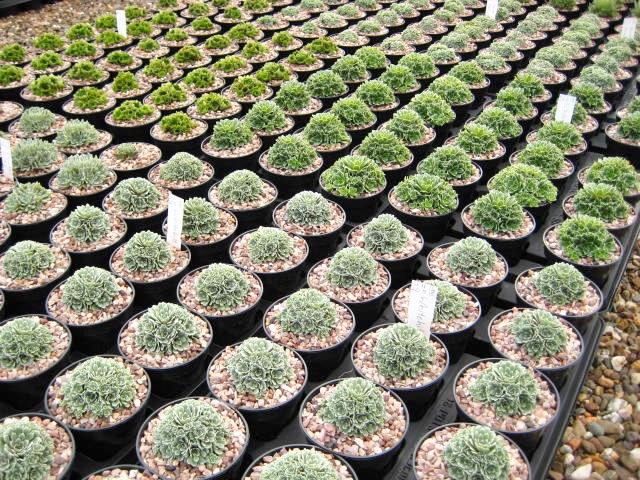 8 Silver (encrusted) Saxifraga plants
