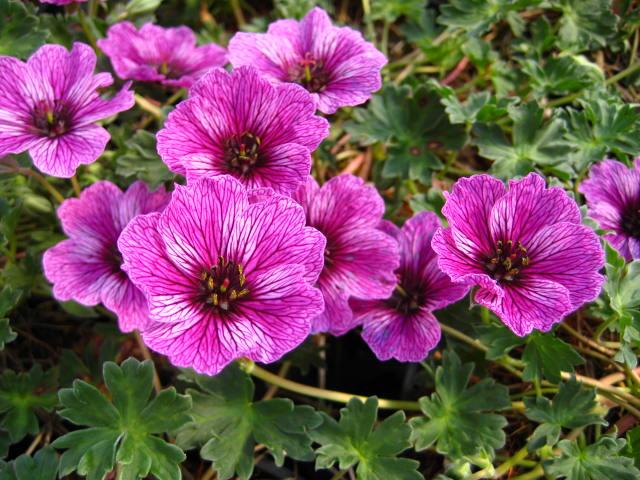 geranium laurence flatman 13