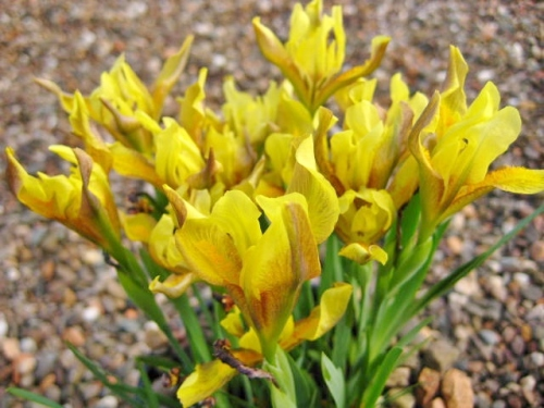 Iris humilis