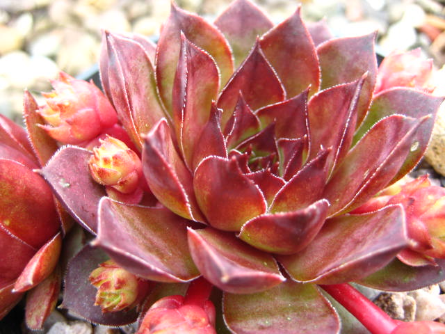 Sempervivum Brown Owl (May)