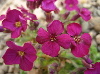 Aubrieta 'Bressingham Red'