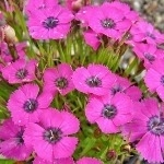 Dianthus Inshriach Dazzler  AGM