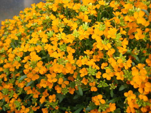 Erysimum Orange Flame