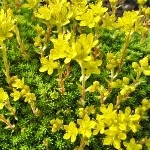 Saxifraga 'Gold Dust'