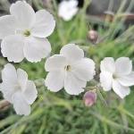 Dianthus Nyewoods Cream