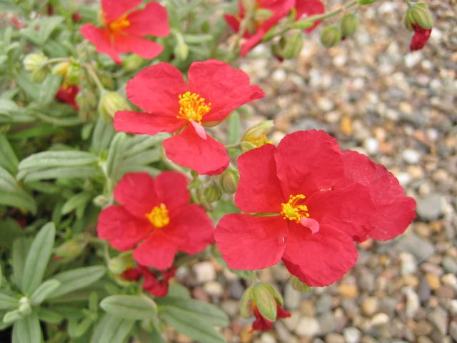 Helianthemum Beech Park Red