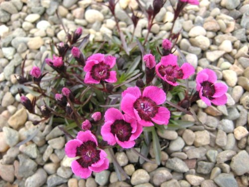 Dianthus alpinus 'Joan's Blood'  AGM