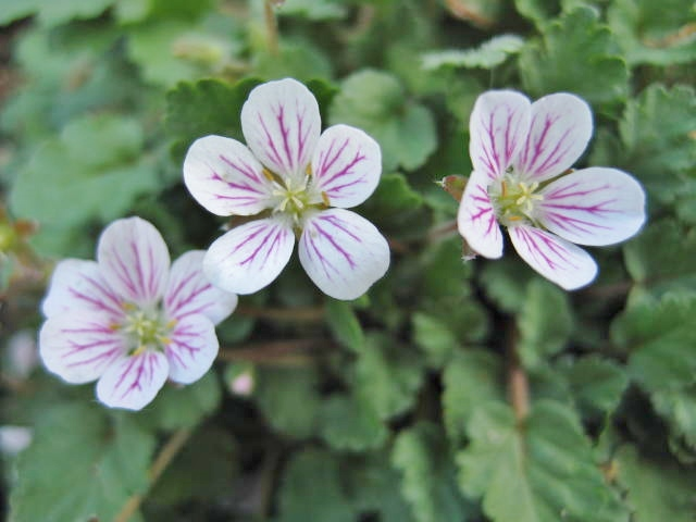 Erodium reichardii Album