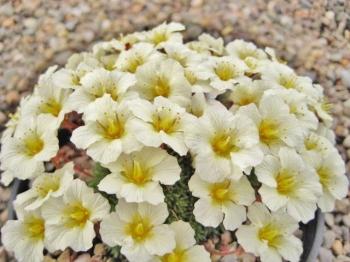 Saxifraga 'Sulphurea' (x boydii)