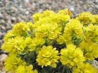 Saxifraga juniperifolia