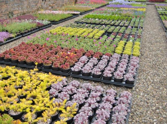 Craigiehall Nursery in the summer, alpine plants growing well.