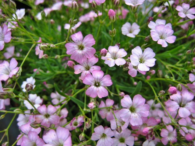 Gysophila repens 'Dorothy Teacher'