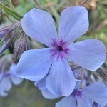 Phlox divaricata 'Chattahoochee'  AGM