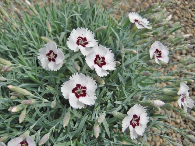 Dianthus Starry Eyes  AGM