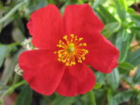 Helianthemum 'Red Dragon'