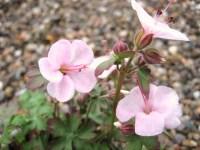 Geranium dalmaticum 'Bridal Bouquet'