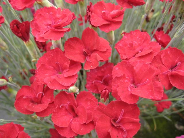 Dianthus Fusilier